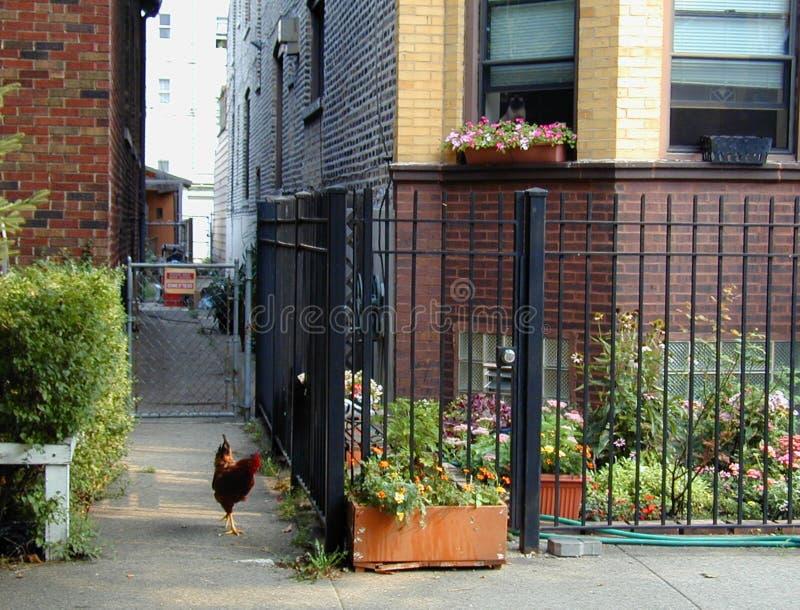 Galo urbano da galinha de Chicago do lado oeste no fraco com observação do gato foto de stock royalty free