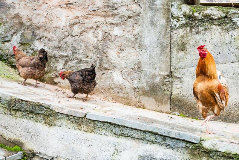 Galo vermelho e duas galinhas na rua fotos de stock royalty free