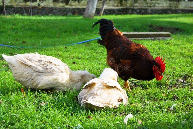 Galo vermelho e pato branco imagem de stock royalty free