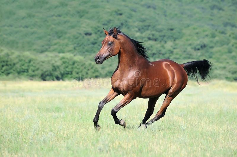 Galop Arabe de fonctionnement de cheval de Brown sur le pâturage