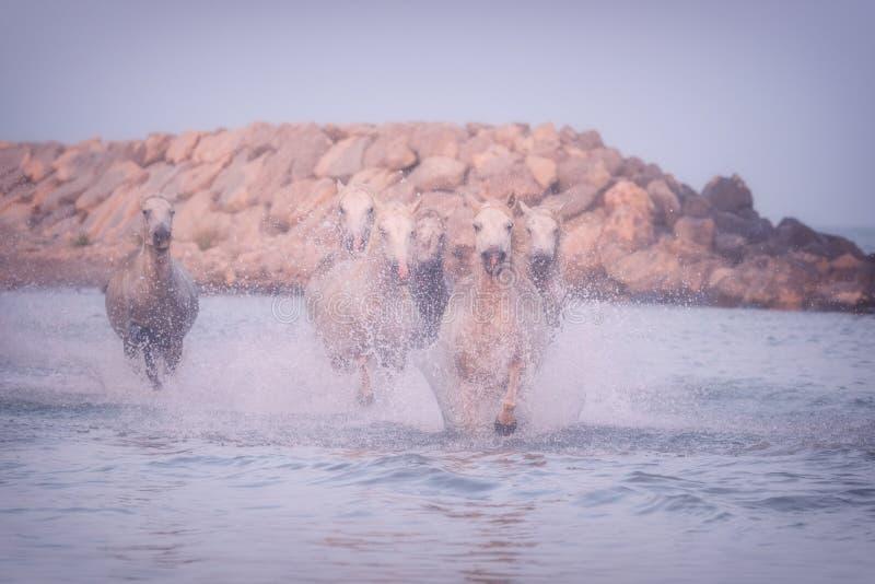 Galop de course de chevaux blancs dans l'eau au coucher du soleil, Camargue, le Bouches-du-Rhône, France image libre de droits