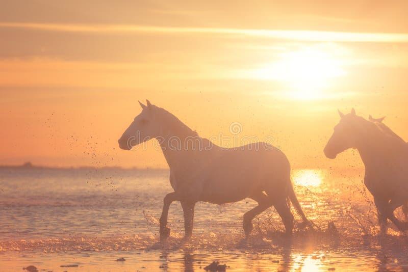 Galop de course de chevaux blancs dans l'eau au coucher du soleil, Camargue, le Bouches-du-Rhône, France photographie stock libre de droits