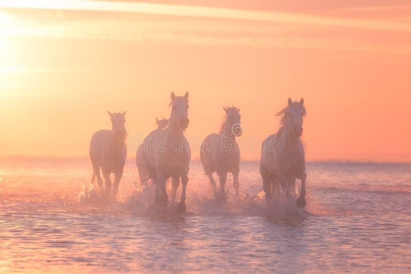 Galop de course de chevaux blancs dans l'eau au coucher du soleil, Camargue, le Bouches-du-Rhône, France photo stock