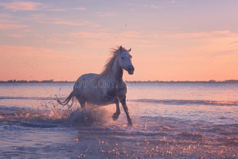 Galop de course de chevaux blancs dans l'eau au coucher du soleil, Camargue, le Bouches-du-Rhône, France photos stock