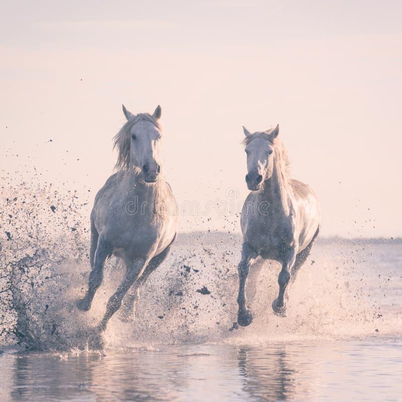 Galop de course de chevaux blancs dans l'eau au coucher du soleil, Camargue, le Bouches-du-Rhône, France photos libres de droits