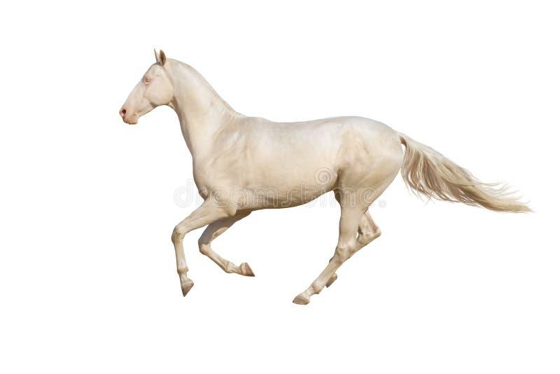 Galop de course de cheval sur le fond blanc photographie stock libre de droits