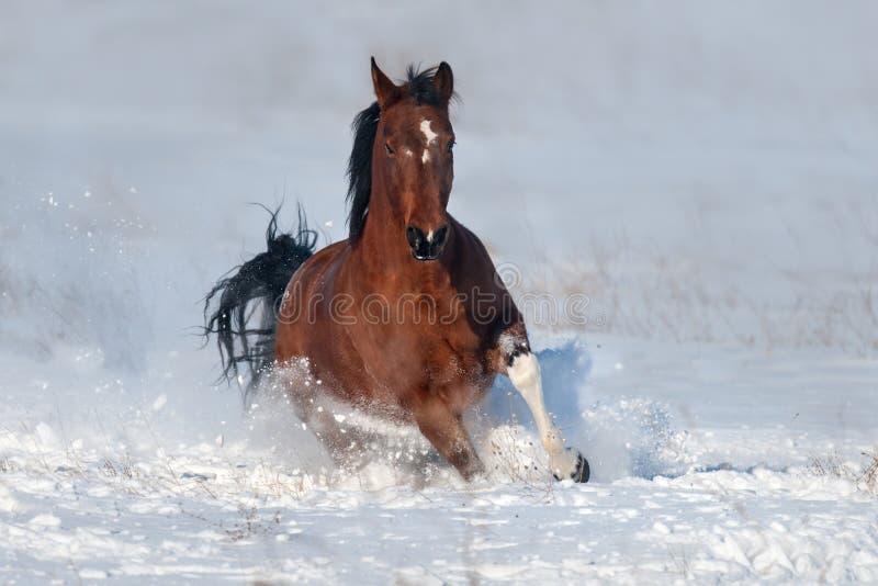 Galop de course de chien dans la neige photo libre de droits
