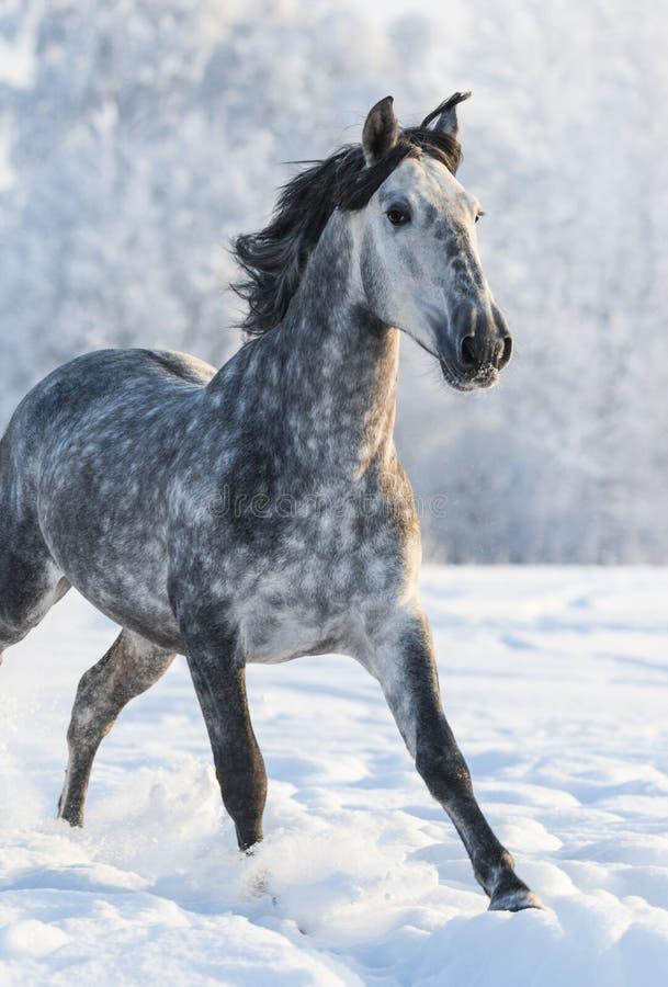 cheval espagnol gris