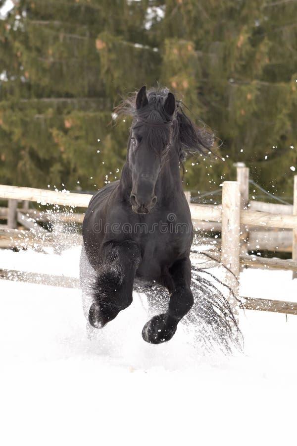 Galop noir de portrait de cheval de frisian dans la neige dans l'horaire d'hiver image libre de droits