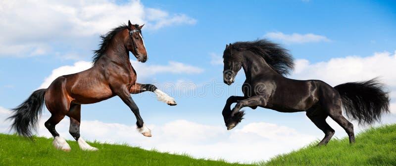 Galop puissant de deux passages de cheval dans le domaine. image libre de droits