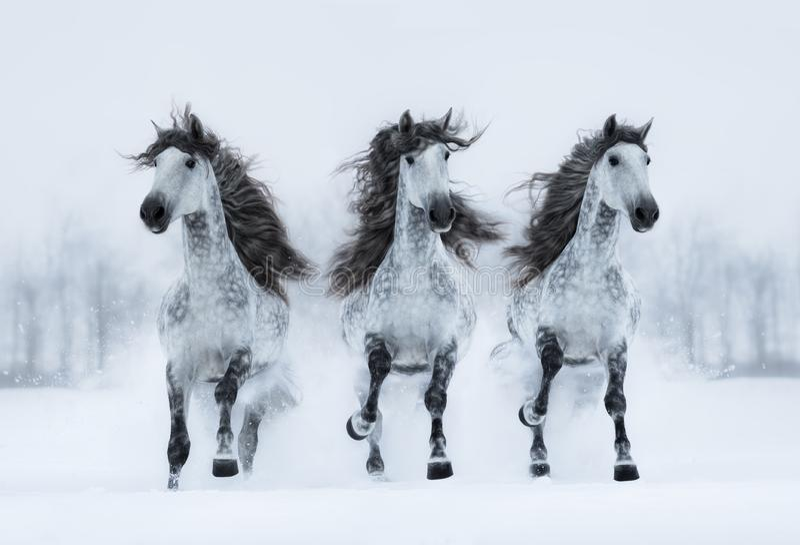 Galop van de drie de grijze lang-maned Spaanse paardenlooppas over gebied stock foto