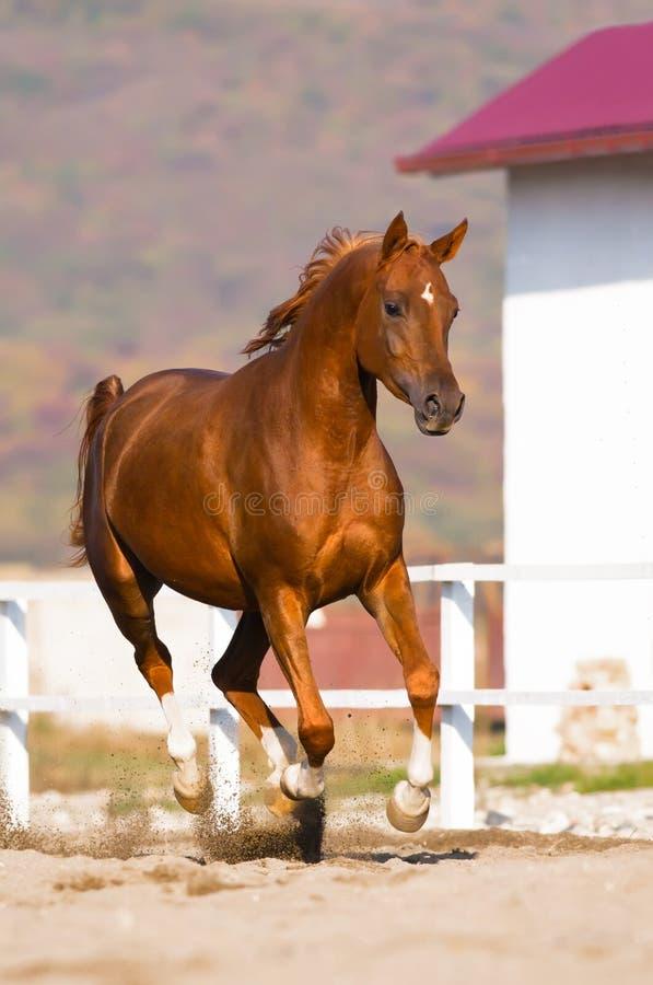 Galope árabe de las corridas del caballo de la castaña imagen de archivo libre de regalías