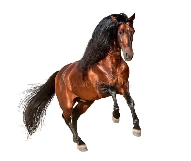 Galope andaluz del caballo de la bahía aislado en el fondo blanco imagenes de archivo