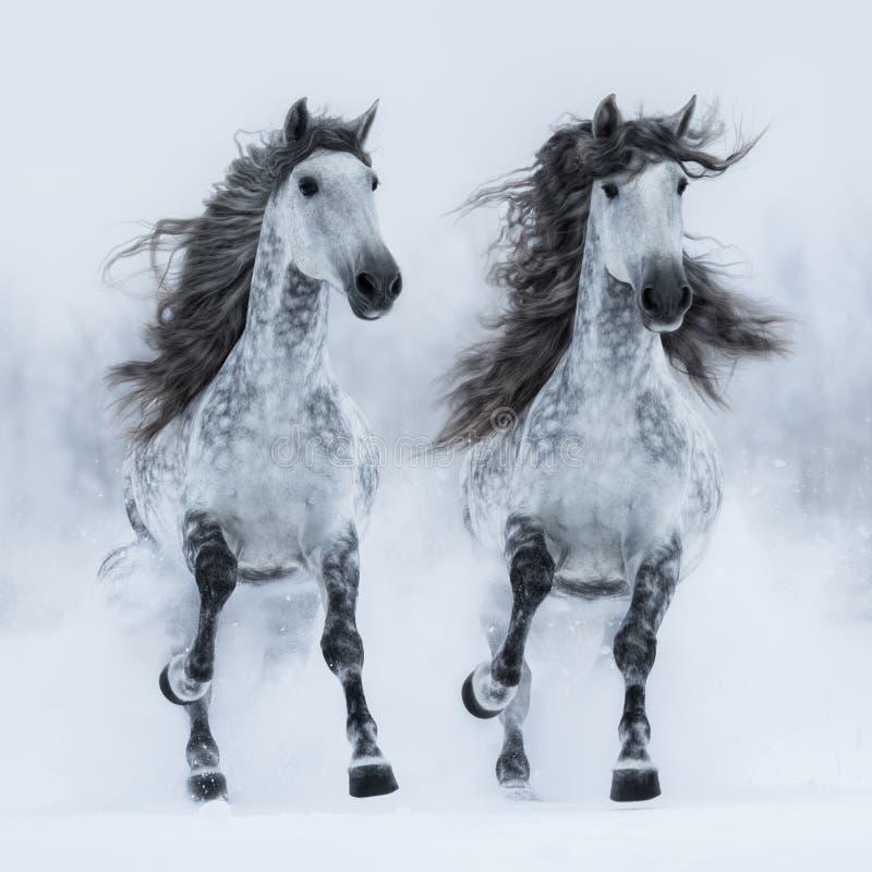 Galope andaluz longo-maned cinzento da corrida de dois cavalos através do campo imagem de stock