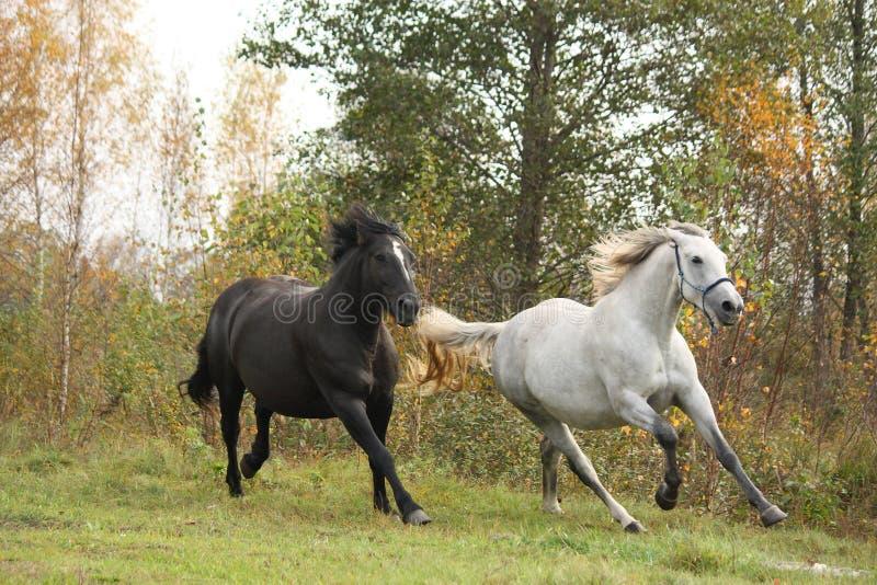 Galope blanco y negro del caballo foto de archivo libre de regalías