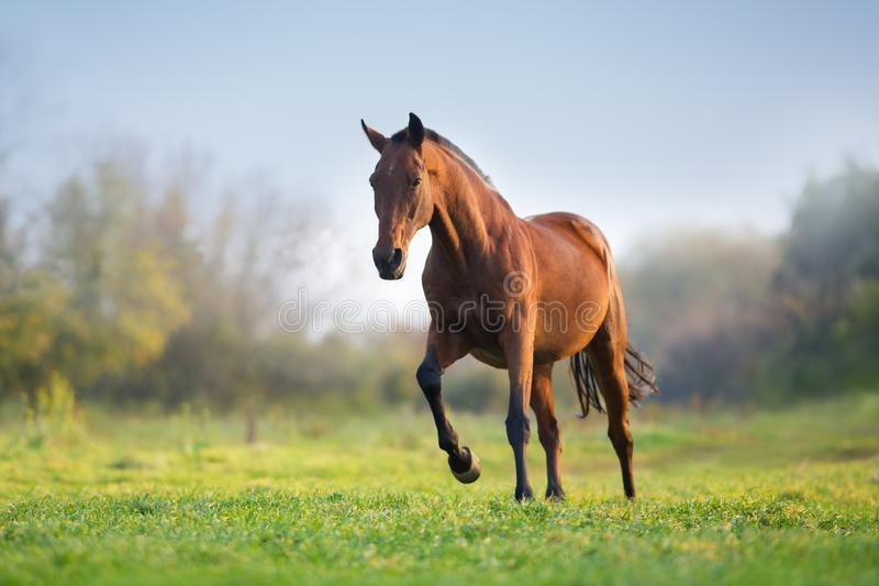 Galope da corrida do cavalo foto de stock royalty free