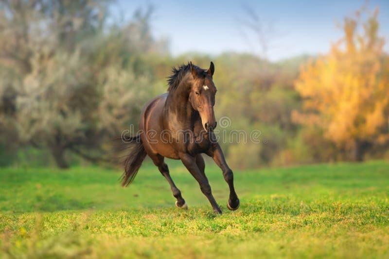 Galope da corrida do cavalo exterior foto de stock
