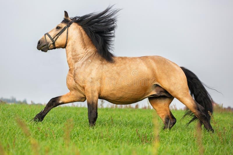 Galope das corridas do cavalo da azeda no prado foto de stock royalty free