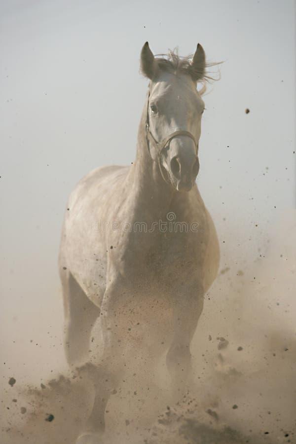 Galope das corridas do cavalo na poeira imagem de stock