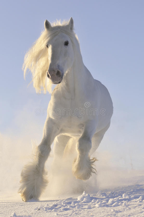 Galope de la corrida del caballo blanco en invierno
