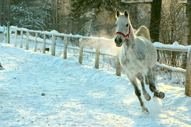 Galope de la corrida del caballo blanco en invierno foto de archivo