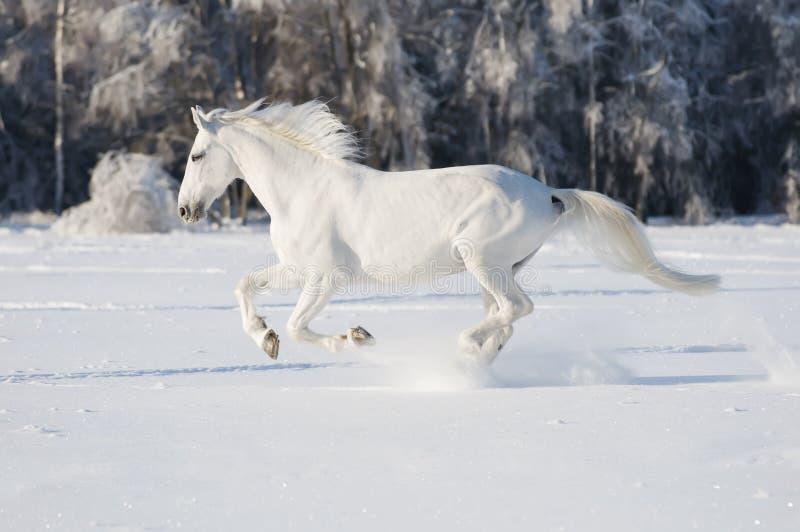 Galope de las corridas del caballo blanco foto de archivo