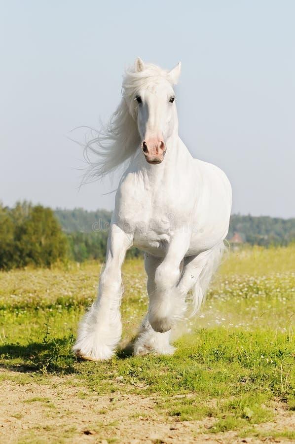 Galope de las corridas del caballo blanco en el prado fotos de archivo