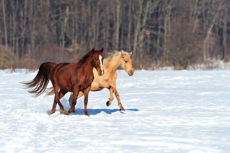 Galope de los funcionamientos del caballo en invierno foto de archivo