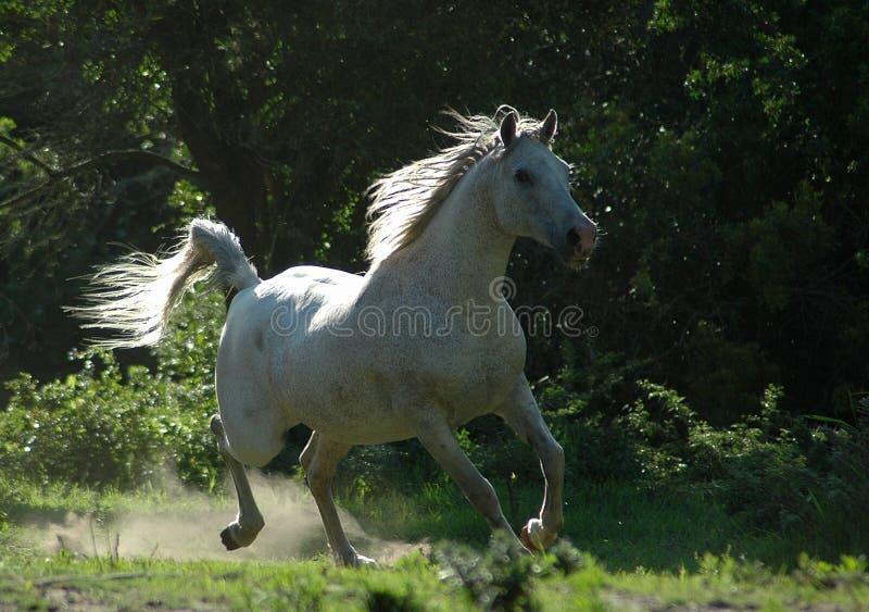 Galope del caballo foto de archivo