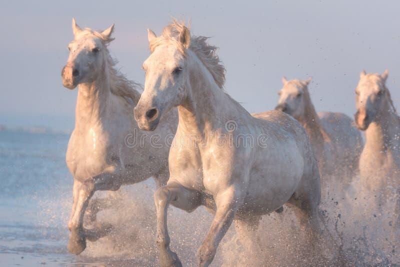 Galope del funcionamiento de los caballos blancos en el agua en la puesta del sol, Camargue, Bouches-du-rhone, Francia imagenes de archivo
