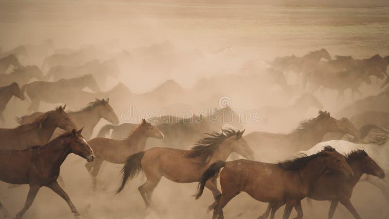 Galope del funcionamiento de los caballos en polvo fotografía de archivo