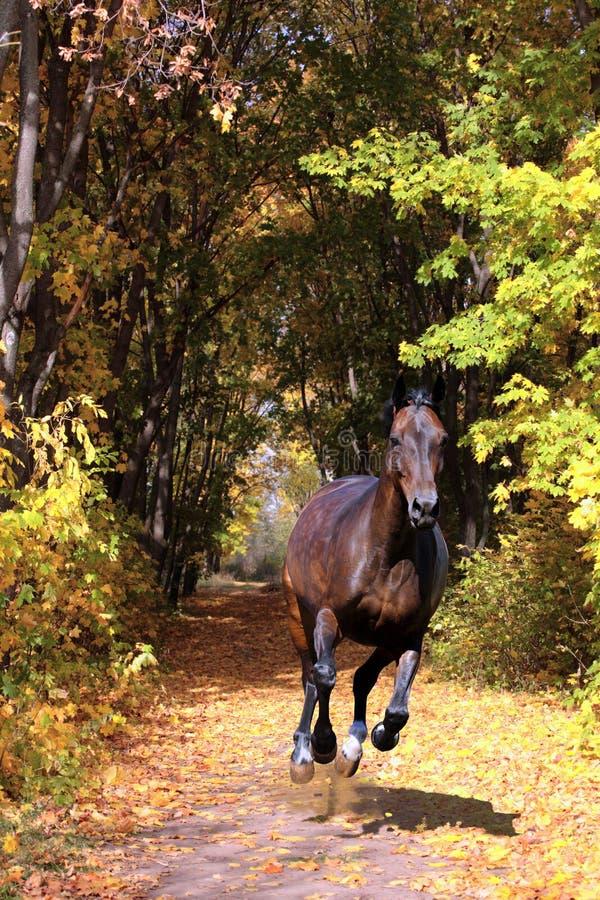 Galope do cavalo de Hanoverian em madeiras do outono imagens de stock