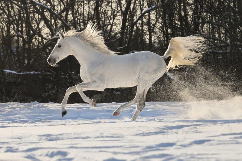Galope do funcionamento do garanhão do cavalo branco fotos de stock