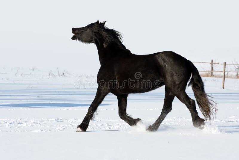 Galope negro de la corrida del caballo en invierno fotos de archivo