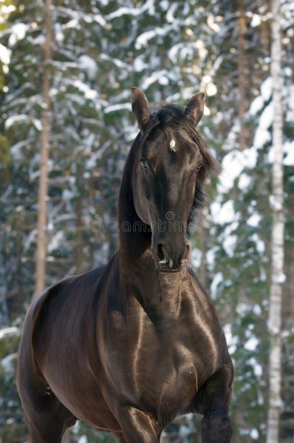 Galope negro de las corridas del caballo de Kladruber foto de archivo libre de regalías