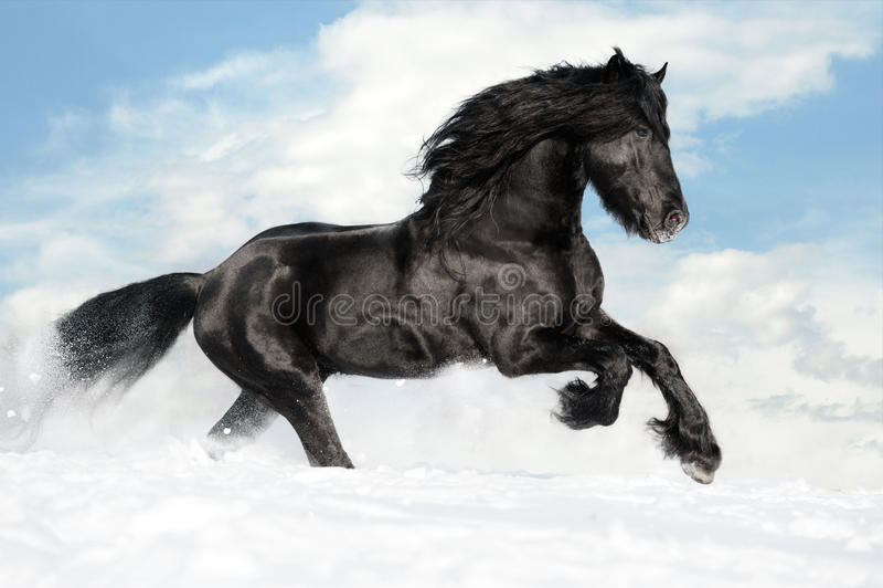 Galope negro de las corridas del caballo en la nieve fotografía de archivo