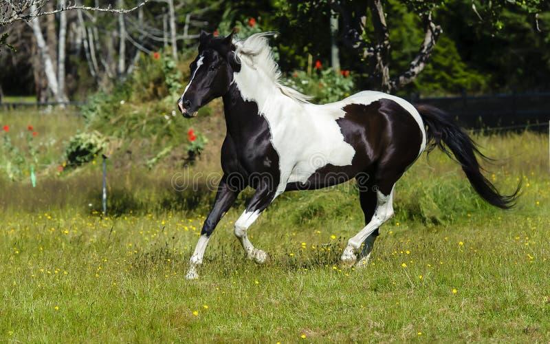 Galope picazo del caballo imagen de archivo libre de regalías