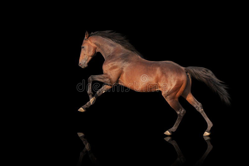 Galope poderoso bonito do garanhão Cavalo em um fundo preto imagem de stock