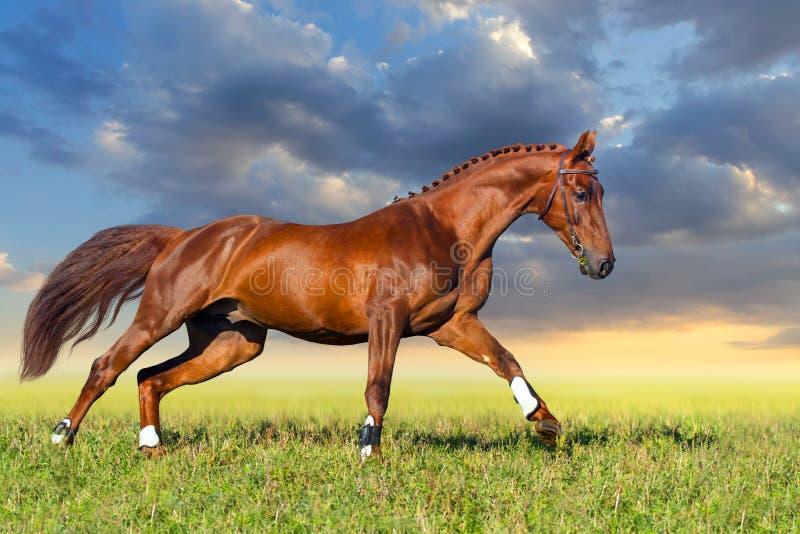 Galope vermelho do cavalo imagens de stock