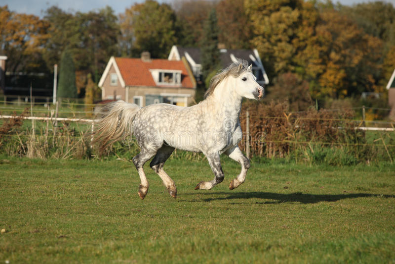 Galoper d'étalon de poney de montagne de Gallois images libres de droits
