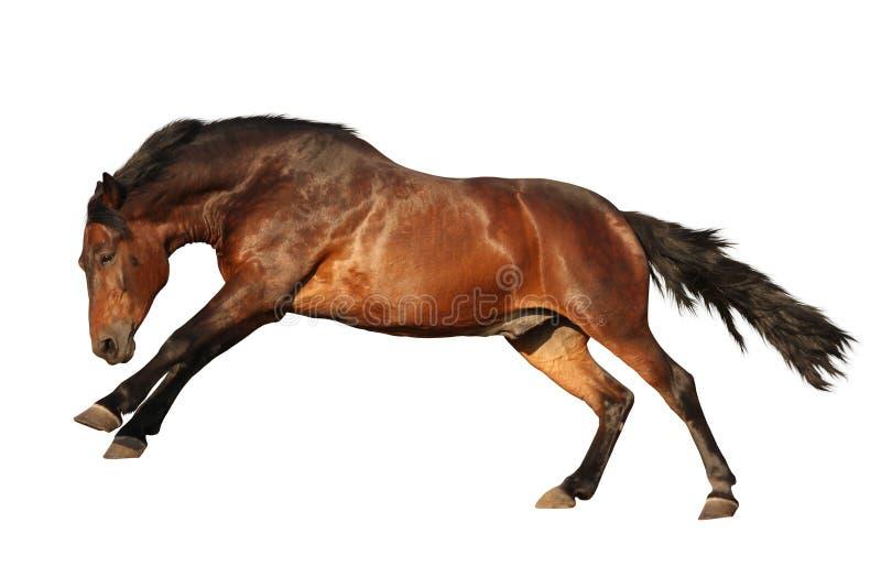 Galoper de cheval de Brown d'isolement sur le blanc images libres de droits