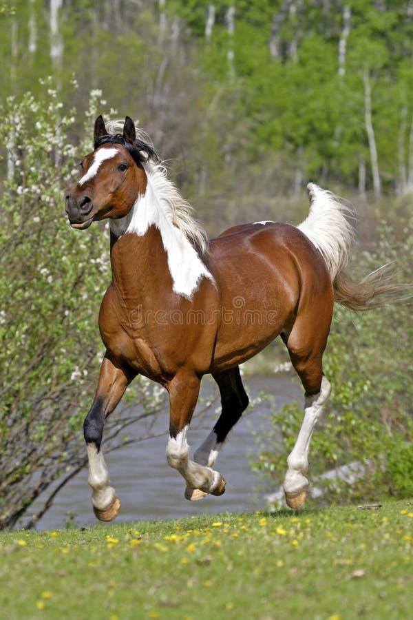 Galoper de Pinto Arabian Horse photographie stock libre de droits