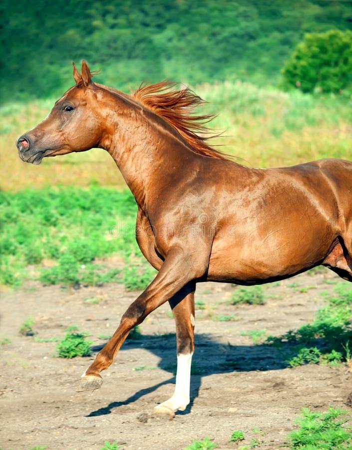 Galoping chestnut arabian stallion at freedom royalty free stock photo