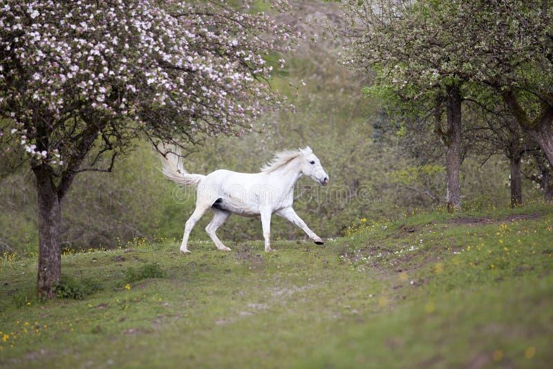 Galopp för den vita hästen frigör på äng i vår royaltyfri fotografi