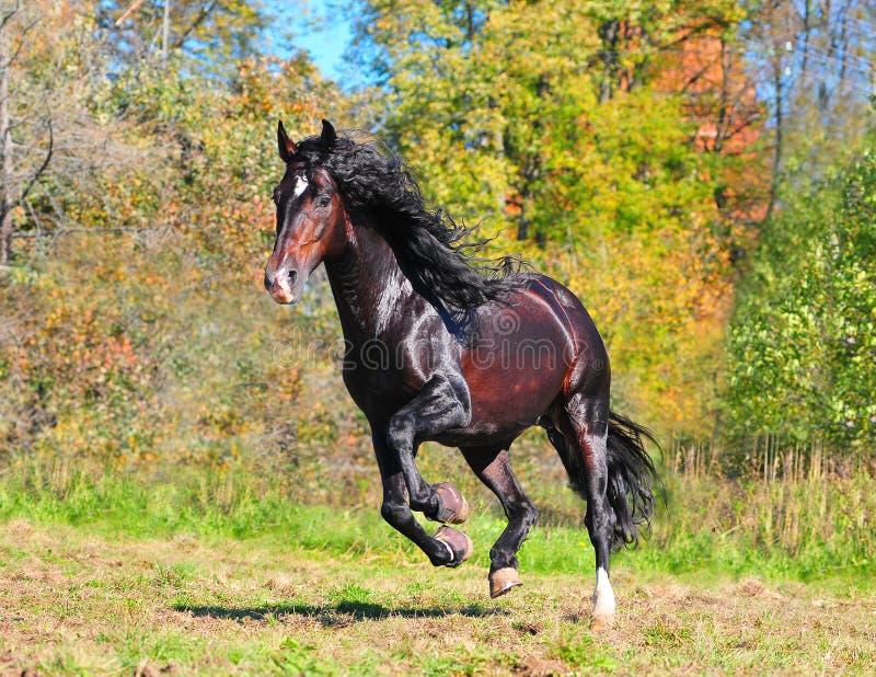 Galoppare andaluso del cavallo immagini stock libere da diritti