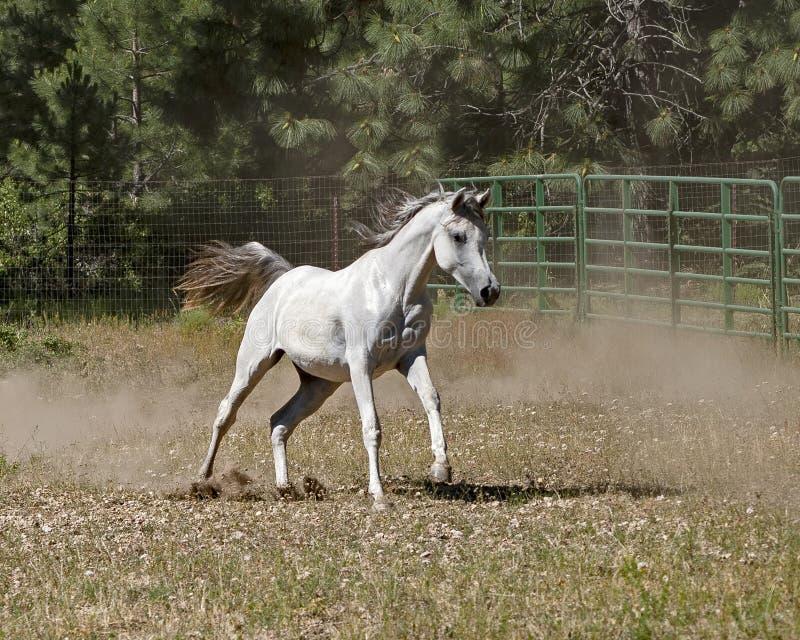 Galoppare arabo del cavallo libero in un pascolo fotografia stock libera da diritti