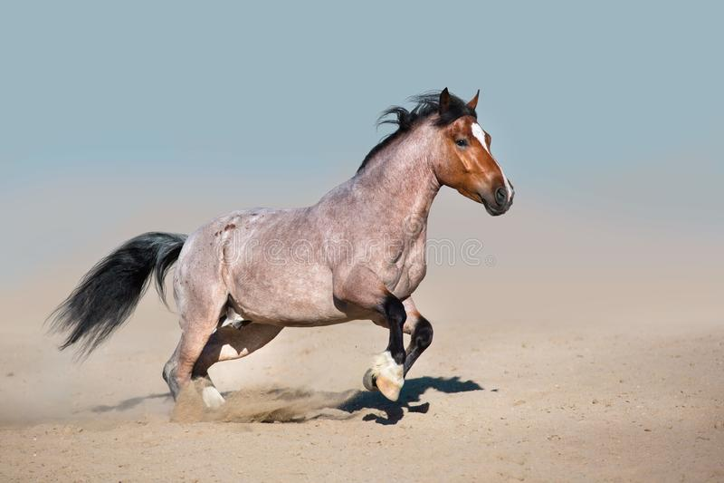 Galoppare veloce del cavallo con la polvere immagini stock