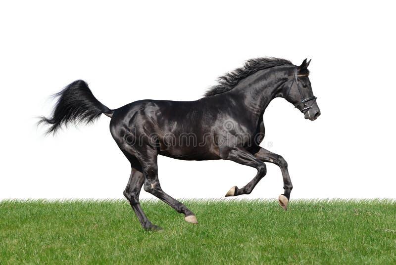 Galopperend paard in het gras dat op wit wordt geïsoleerd stock afbeeldingen