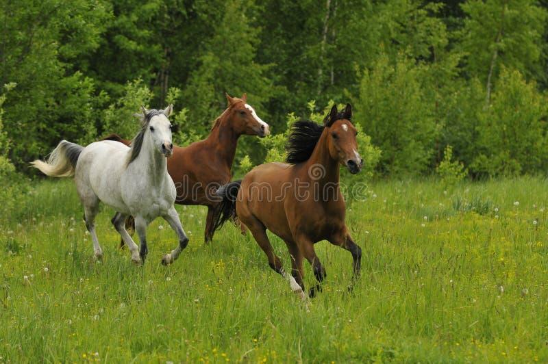 Galopperende paarden op weide in de zomer royalty-vrije stock foto's
