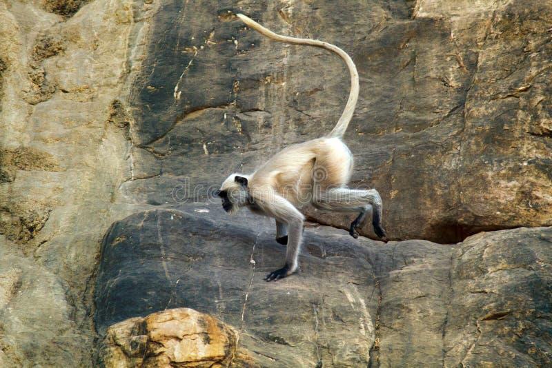 Galoppierend auf die Felsen, albern Sie, hanuman Langur herum lizenzfreie stockbilder